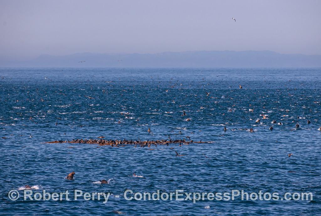 California sea lion mega mob all around a drifting kelp paddy chock full of resting lions.