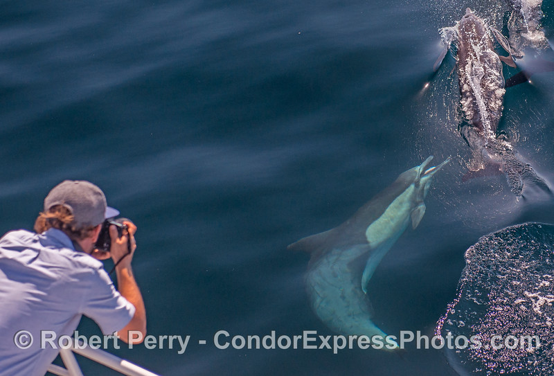 A photographer captures long-beaked common dolphins interacting.