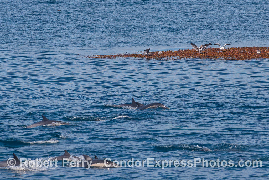 Gulls resting on a giant kelp paddy watch the long-beaked common dolphins go by.