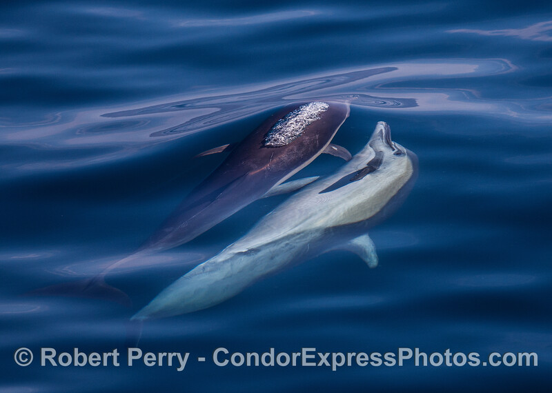Long-beaked common dolphins mating.