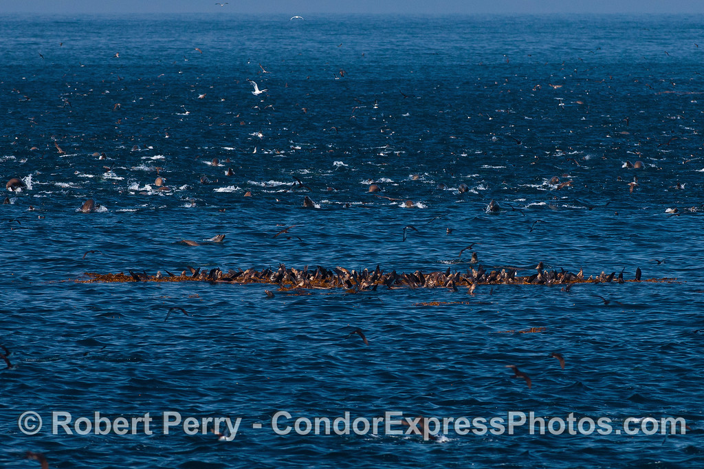It was a calm, glassy day so the turbulence you see was caused by hundreds of active sea lions.  The sea lions covered a huge area but in the center was a calm group of animals relaxing in a drifting kelp paddy.