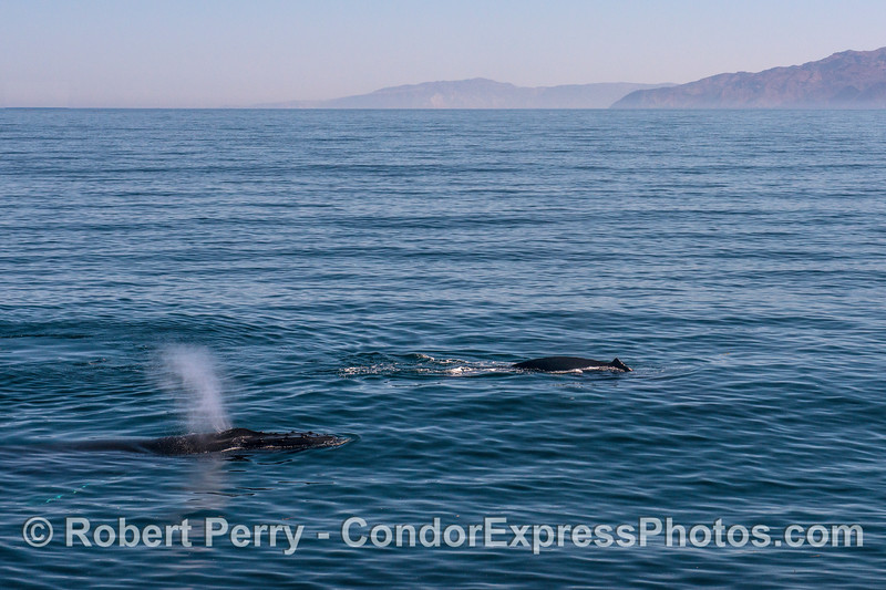 A pair of humpback whales with Santa Cruz Island in back.