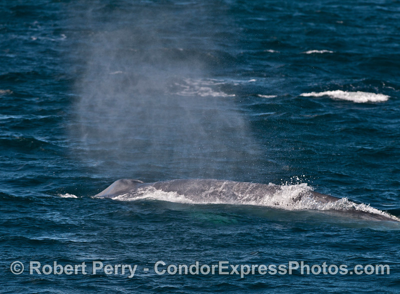 Blue whale:  spouting in the wind.