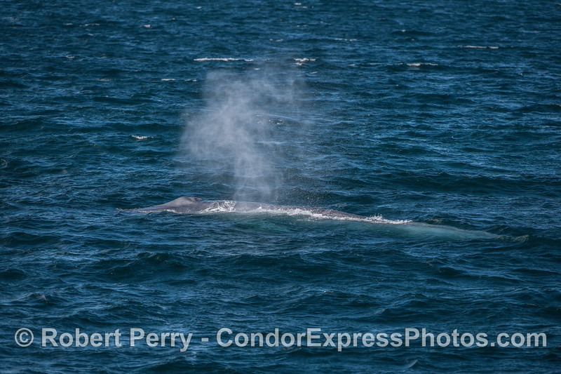 Spout spray in the wind - blue whale.