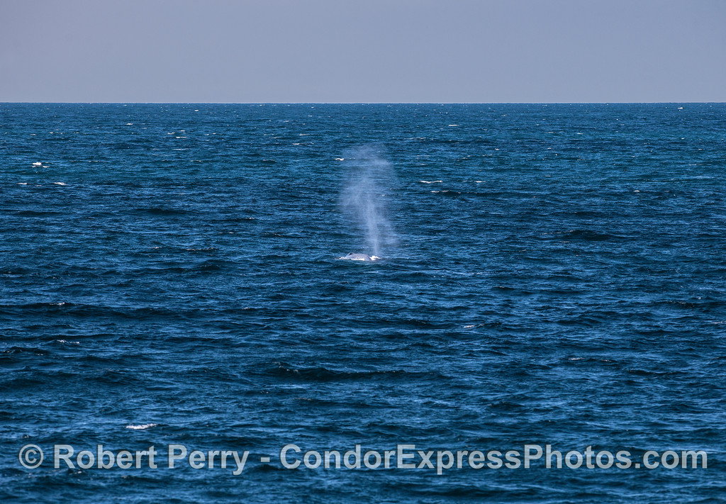A giant blue whale seen at a distance across a breezy ocean surface.