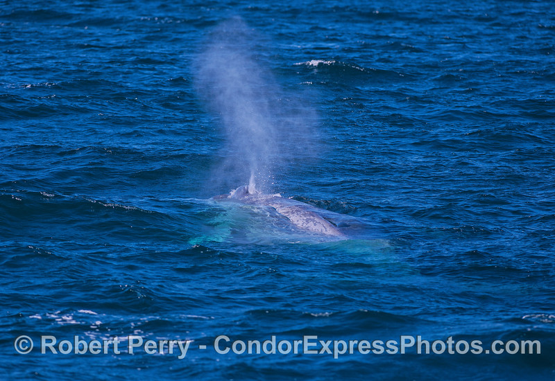 The anterior 1/3rd of a blue whale's body including pectoral fin is seen underwater as it comes up and spouts.