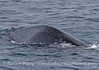 Speckled, small humpback whale with deformity, possibly from a ship strike.