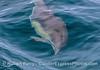 Long-beaked common dolphin underwater.