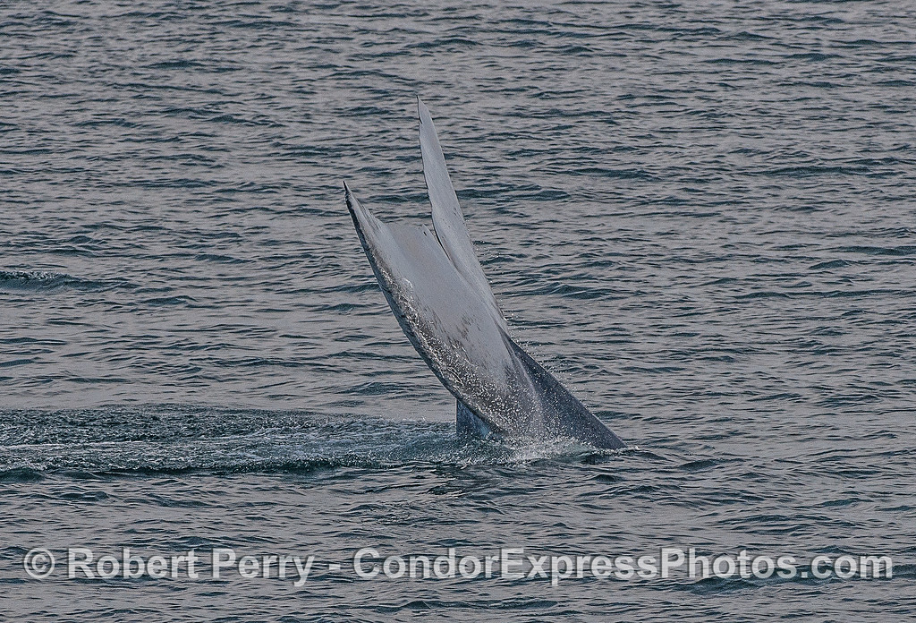 Image 5 of 5:  A giant blue whale tail fluke sequence.