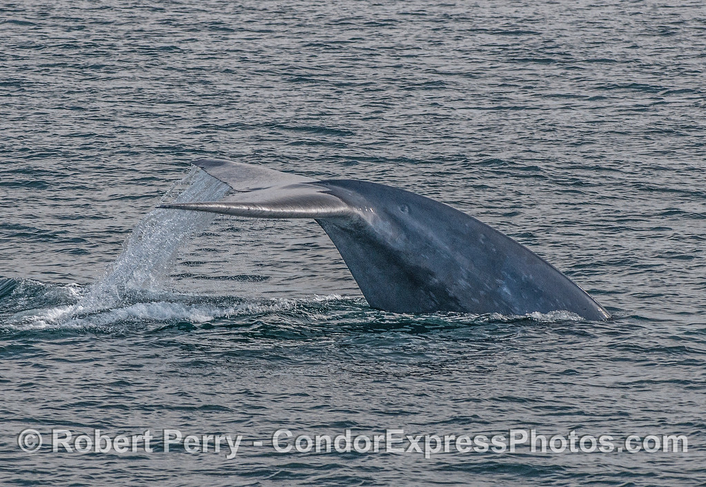 Image 3 of 5:  A giant blue whale tail fluke sequence.