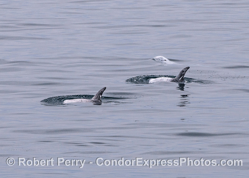 Risso's dolphins.