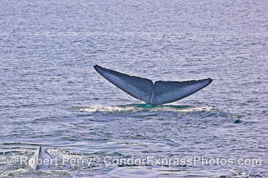 Distinctive tail fluke color pattern on one of two blue whales.