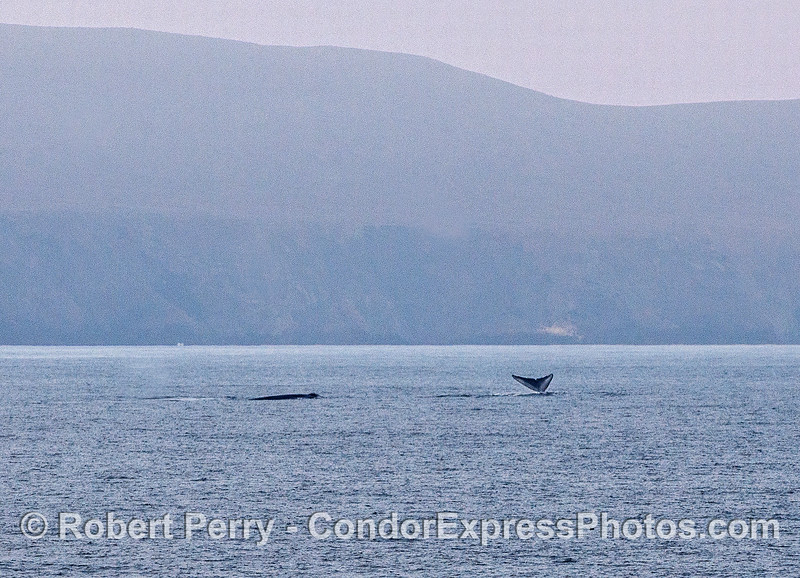 Two blue whales near Santa Cruz Island.