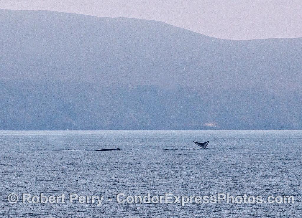 Two blue whales near Santa Cruz Island.