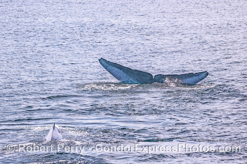 Two blue whales, one with an unusual tail color pattern.