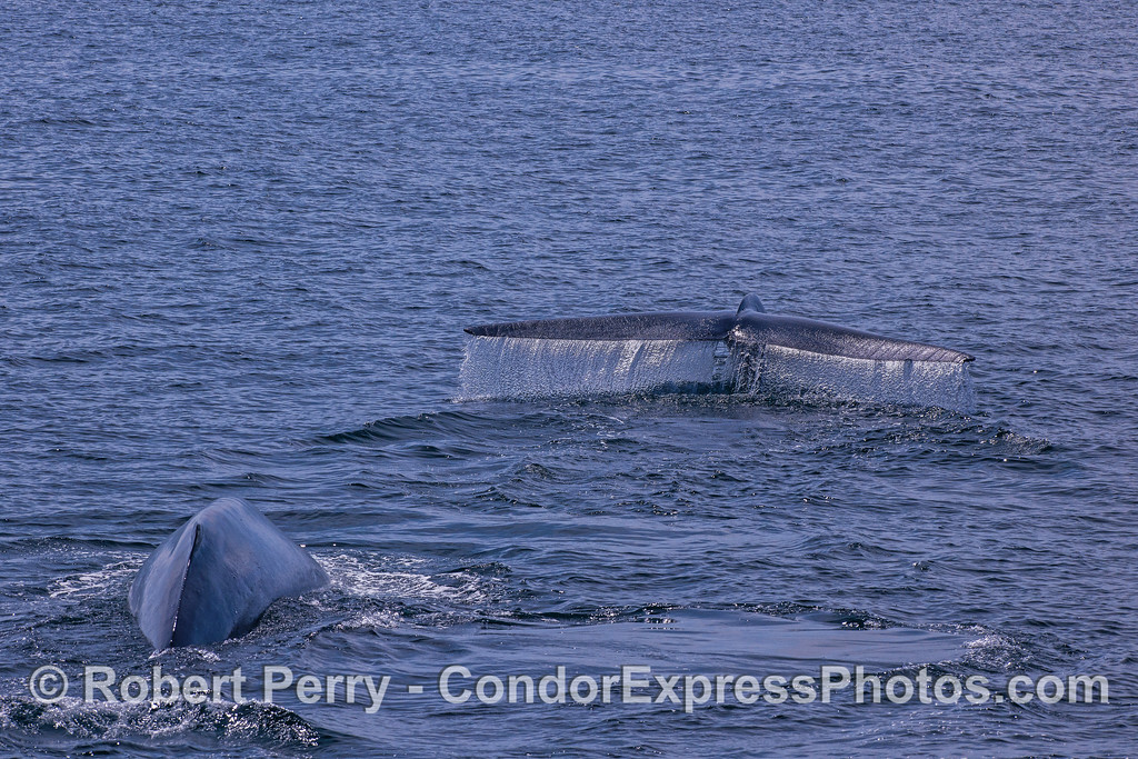 Two blue whales.