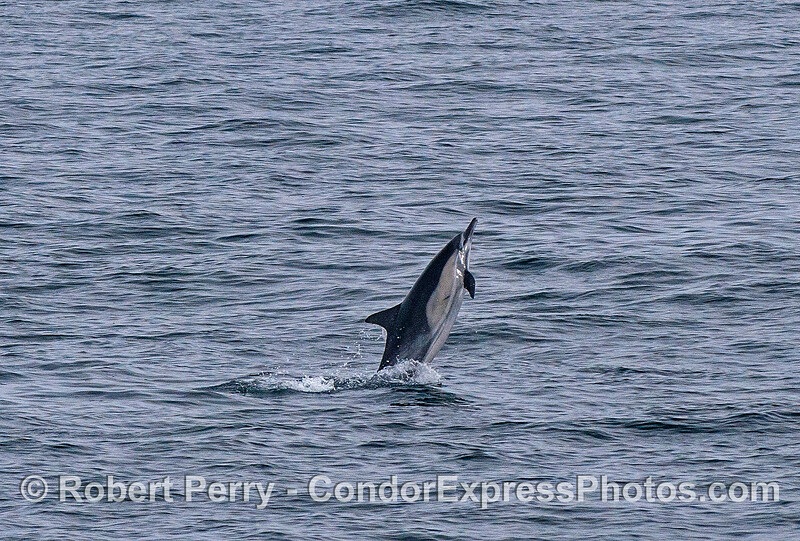 Long-beaked common dolphin.
