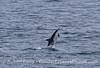Long-beaked common dolphin.
