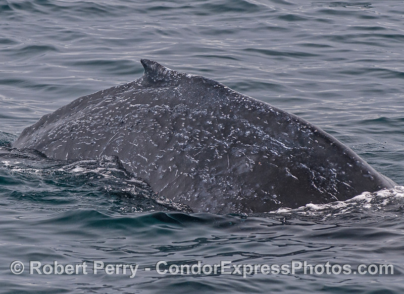 A speckled, small humpback whale.