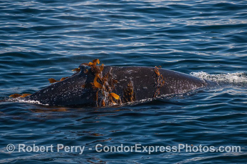 """A humpback whale is seen """"kelping.""""  A few stipes are draped across the back."""