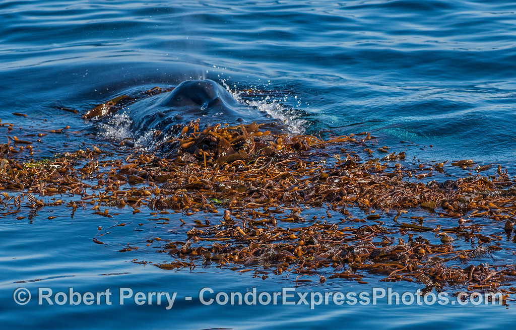 First contact:  A humpback whale enters the kelp and prepares for an hour of fun.