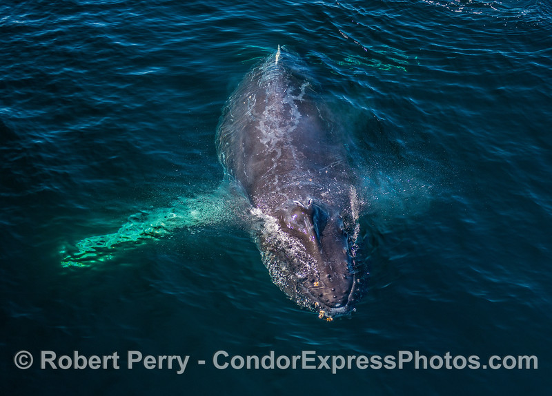 Portrait of a friendly humpback whale