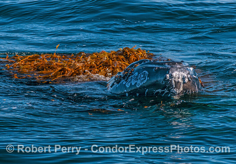 Head of the humpback breaks the surface with a body full of kelp.