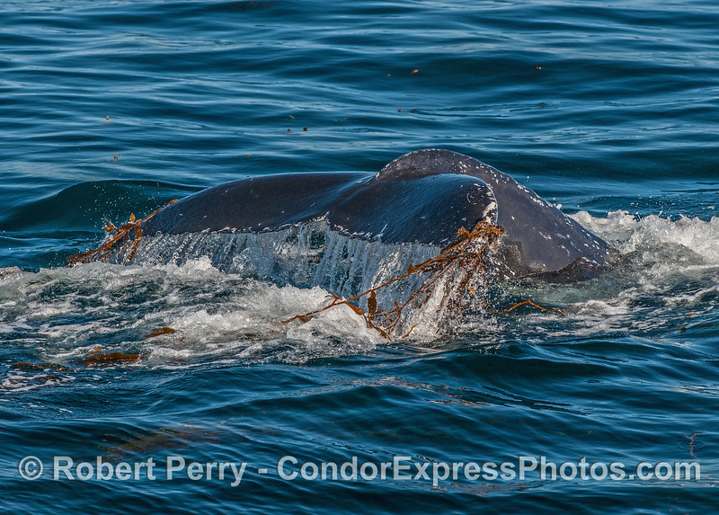 Humpback tail flukes with giant kelp stipes.