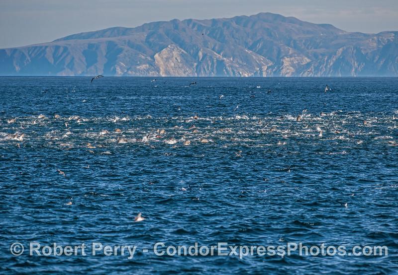 Part of a mega-mob of sea lions.
