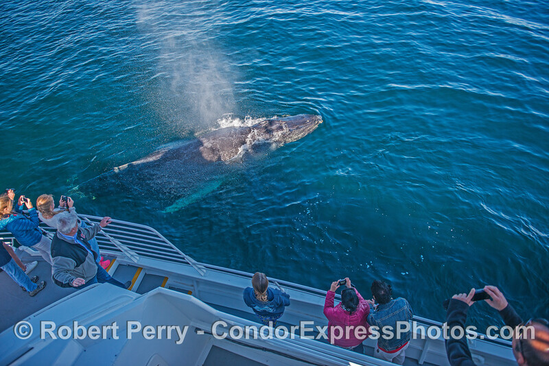 A surprise visit as this humpback whale pops up from under the boat.