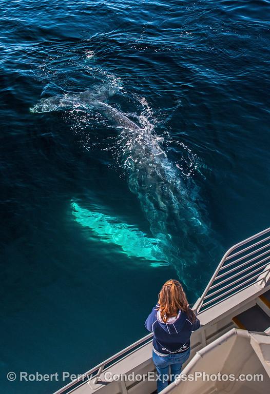 Humpback dives under the boat