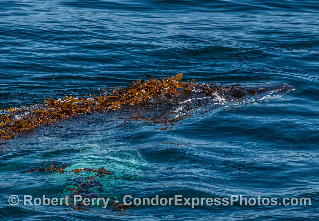 The anterior half of a kelp-covered humpback whale.