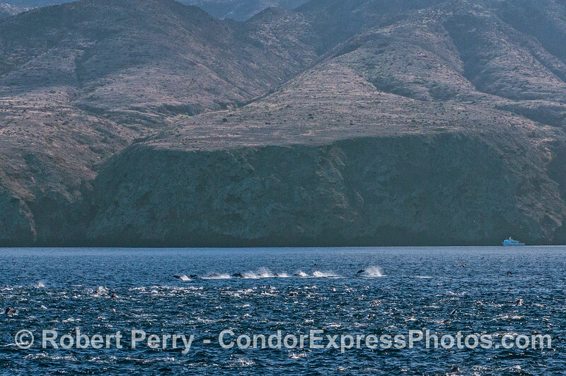 Long-beaked common dolphins do a high speed run near the majestic sea cliffs of Santa Cruz Island.