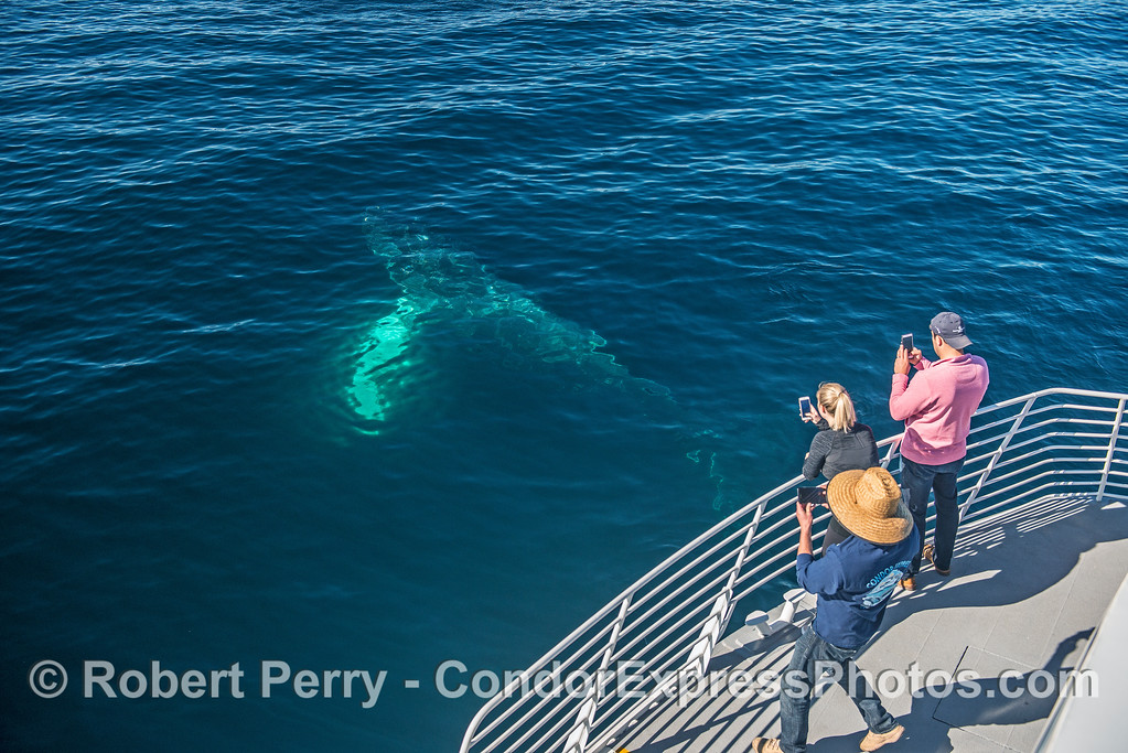 Humpback whale comes up from under the bow.