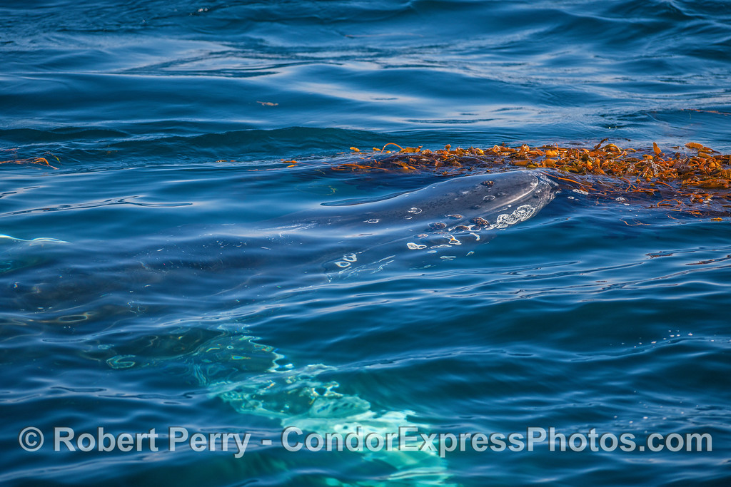 A tempting and juicy giant kelp paddy is about to be demolished by a humpback whale.