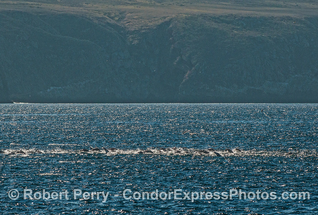 A super-mob of California sea lions on the move near Santa Cruz Island.