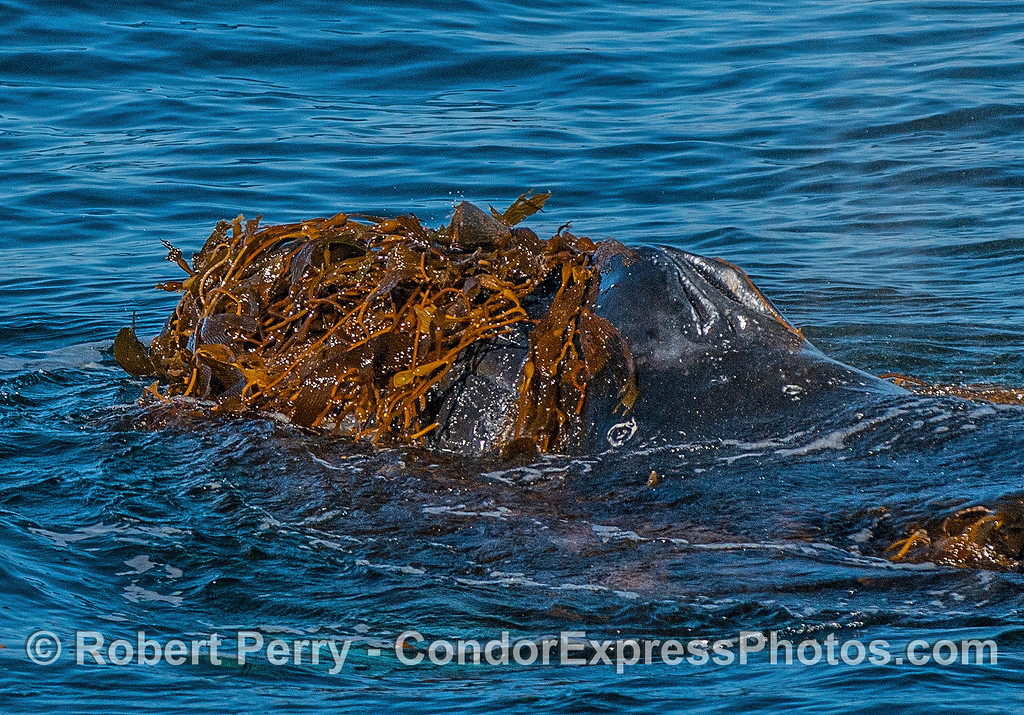 """A humpback whale is seen """"kelping.""""  Close up view of a seaweed-covered head."""