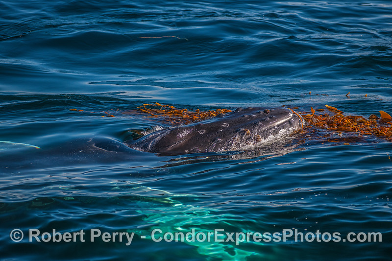"""A humpback whale is seen """"kelping."""""""
