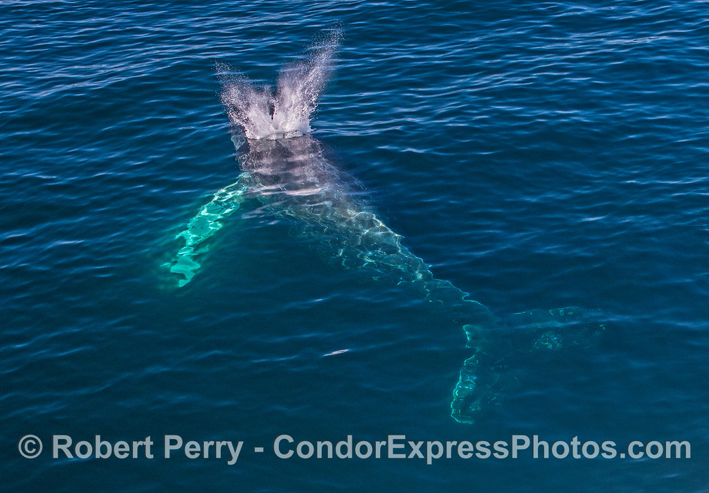 Whole body view of a spouting humpback whale in blue water.