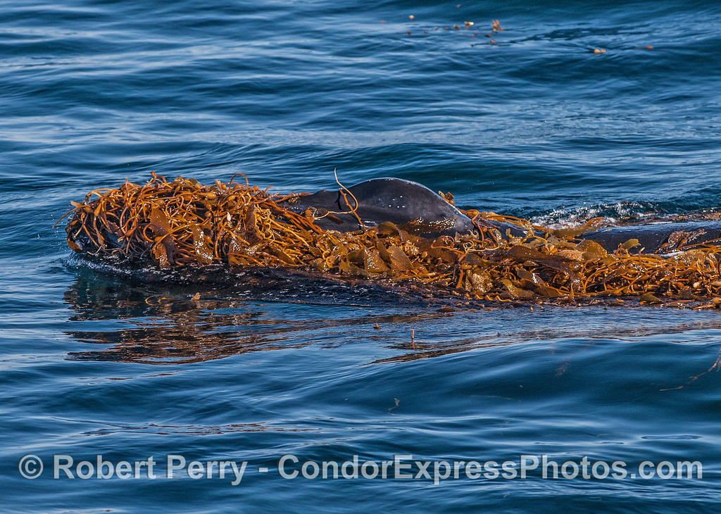 """A humpback whale is seen """"kelping.""""  Splashguard with blow holes reach up above the kelp-covered body."""