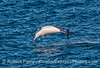 Another short-beaked common dolphin with wild aerial acrobatics.
