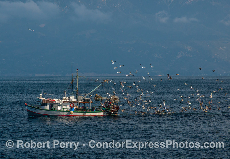 """Bottom-trawler """"Victoria"""" with plenty of by-catch to feed the hungry entourage."""