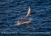 More aerial antics from short-beaked common dolphins.