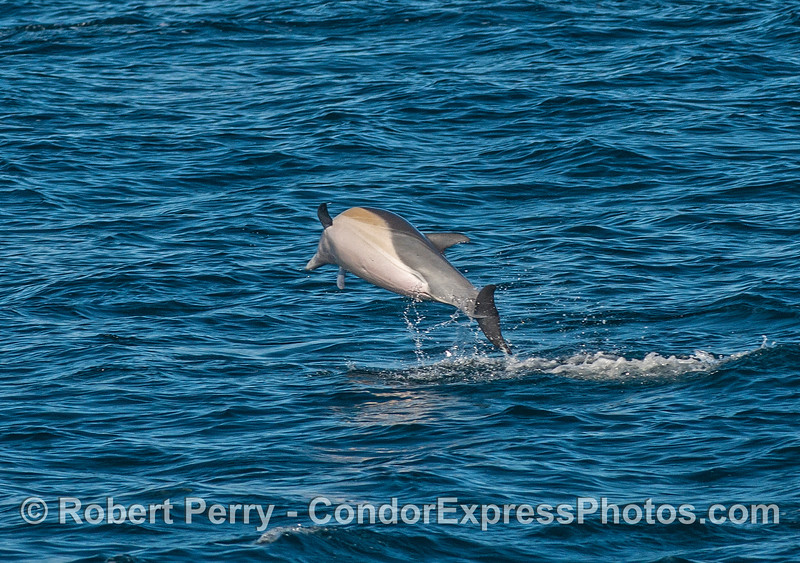 A high-flying short-beaked common dolphin prepared for re-entry.