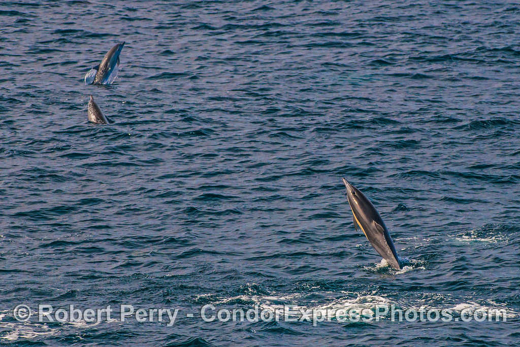 One, two, three leaping short-beaked common dolphins.
