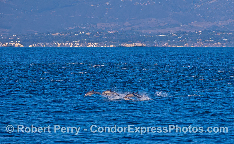 A pod of long-beaked common dolphins with some jumpers.  Santa Barbara coast in back.