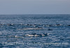 A huge ground swell with some long-beaked common dolphins going up one wave with another coming behind it.