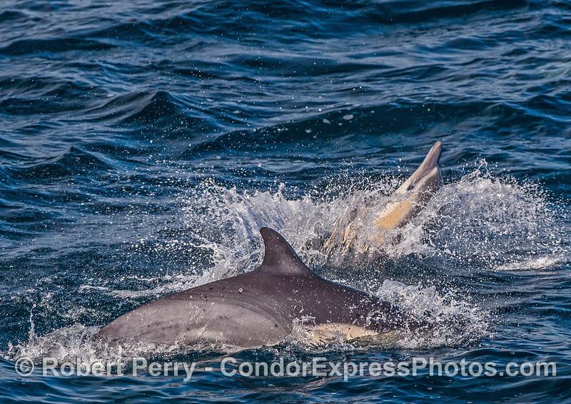 A short-beaked common dolphin splashes down near a fellow pod member.