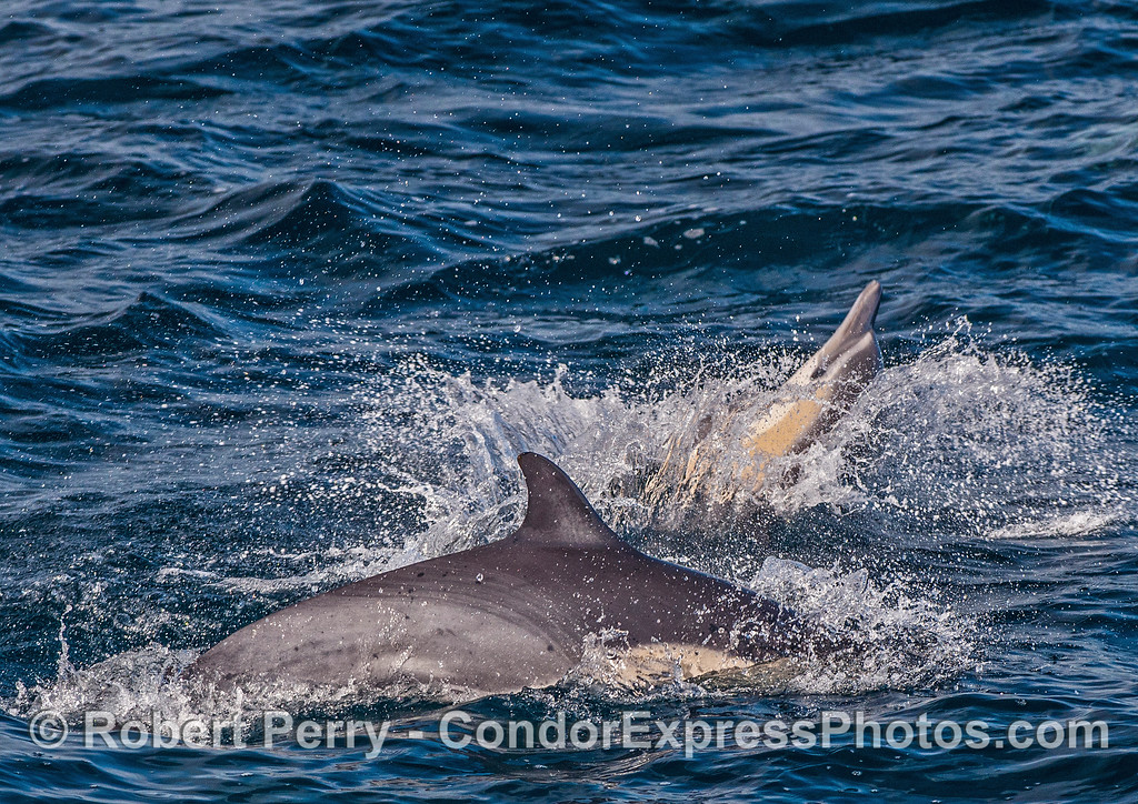 A short-beaked common dolphin splashes down near a fellow pod member.
