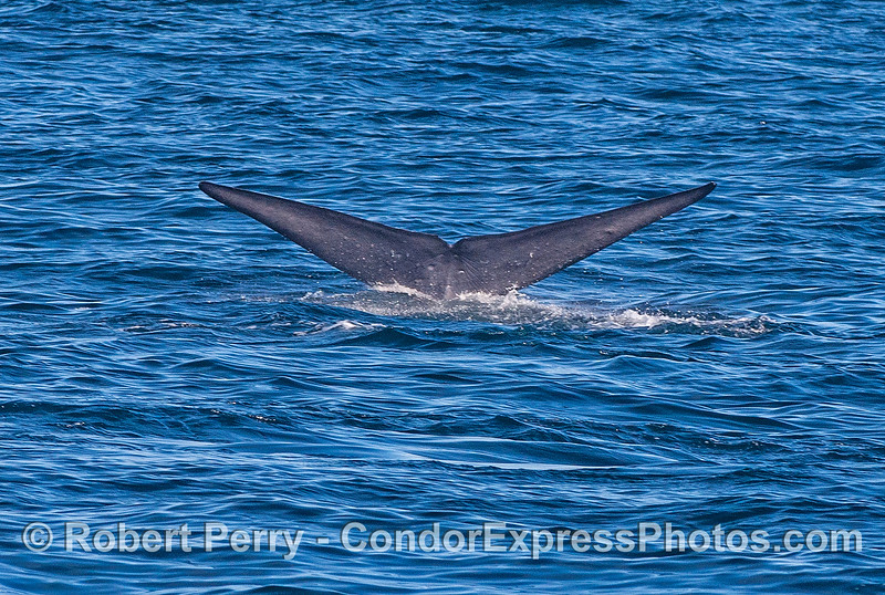 Balaenoptera musculus TWO 2016 11-20 SB Channel-034
